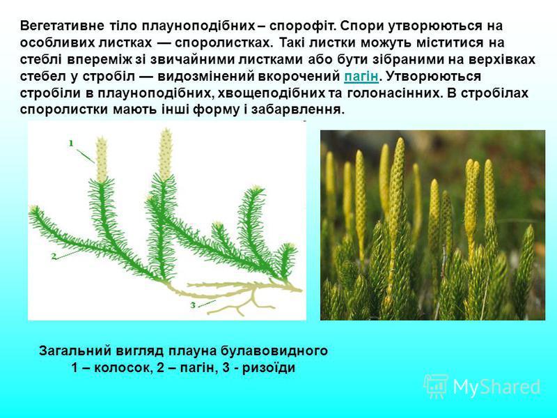 Вегетативне тіло плауноподібних – спорофіт. Спори утворюються на особливих листках споролистках. Такі листки можуть міститися на стеблі впереміж зі звичайними листками або бути зібраними на верхівках стебел у стробіл видозмінений вкорочений пагін. Ут