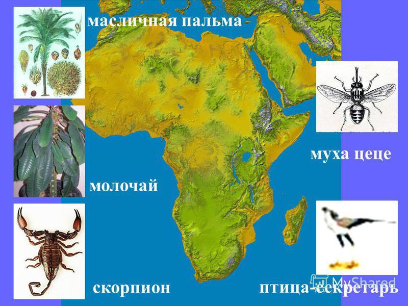 масличная пальма молочай скорпион муха цеце птица-секретарь