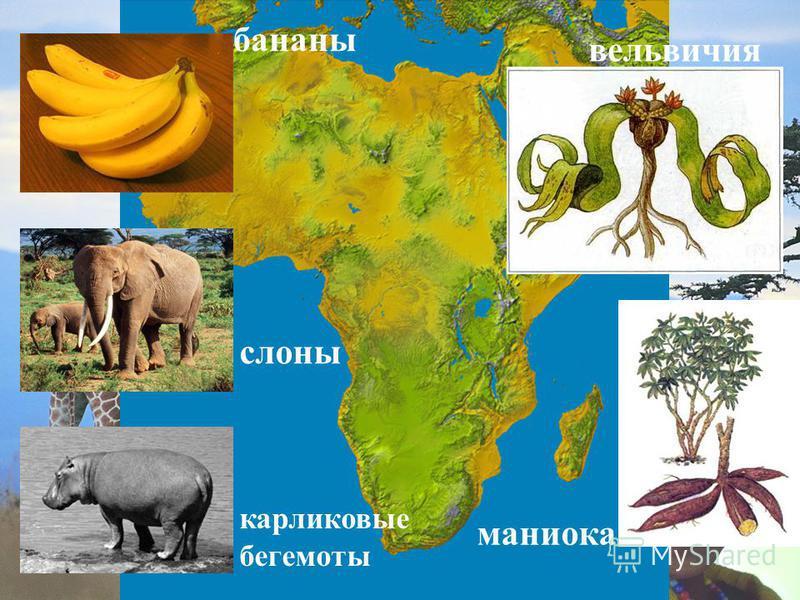 бананы слоны карликовые бегемоты вельвичия маниока