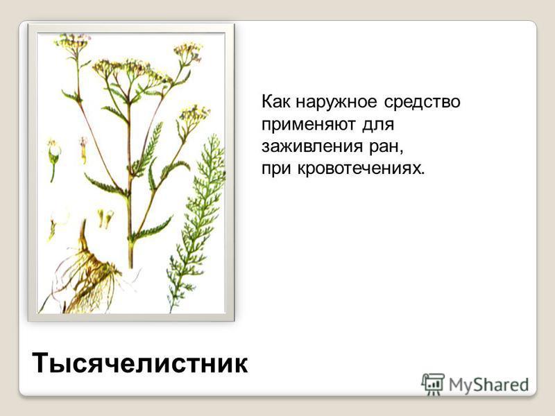 Боярышник Цветки и плоды используют при сердечной недостаточности, Гипертонии. Листья и ягоды Используют вместо чая.