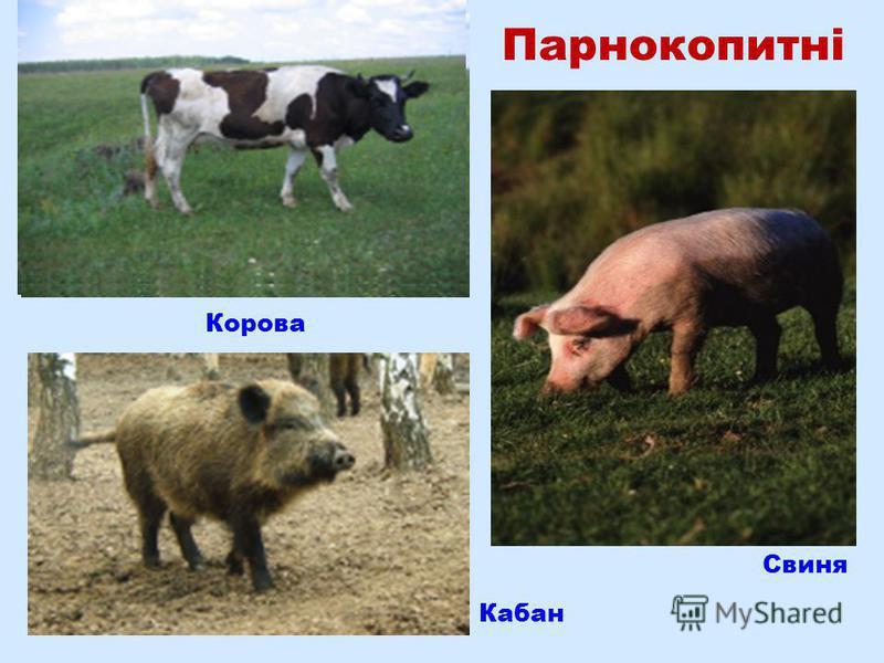 Парнокопитні Корова Свиня Кабан
