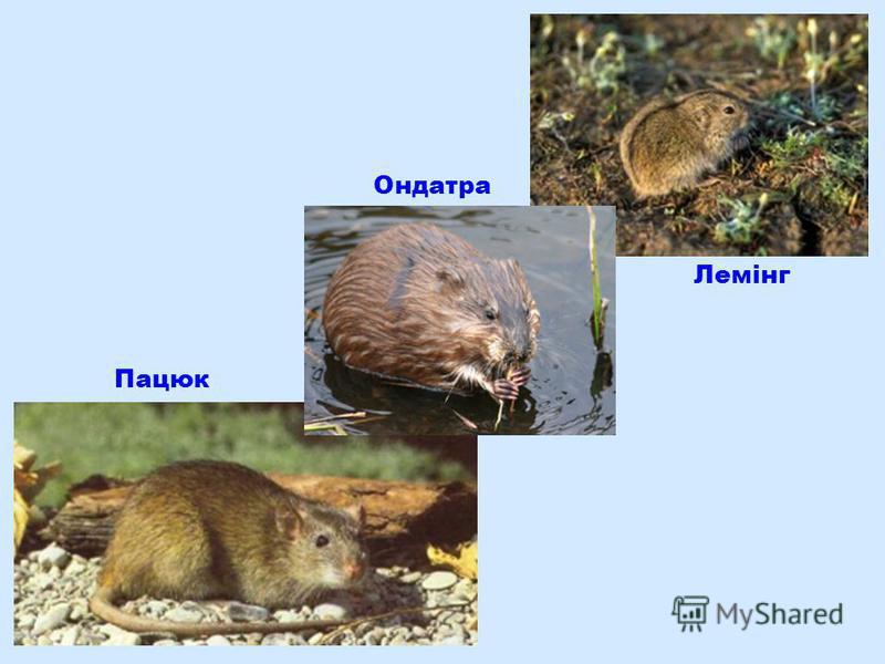 Пацюк Ондатра Лемінг