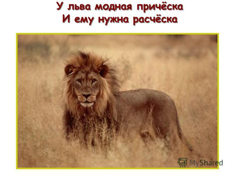 У льва модная причёска И ему нужна расчёска п п