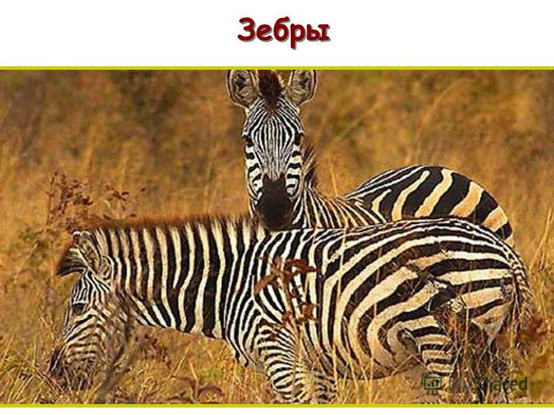 Зебры п п