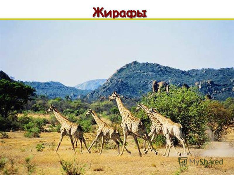 Жирафы п п