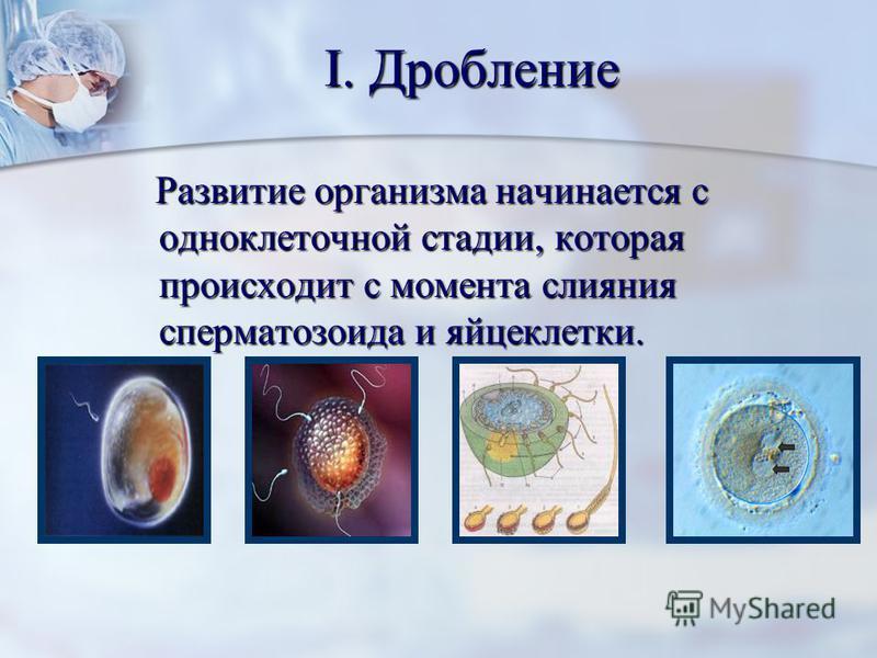 I. Дробление Развитие организма начинается с одноклеточной стадии, которая происходит с момента слияния сперматозоида и яйцеклетки. Развитие организма начинается с одноклеточной стадии, которая происходит с момента слияния сперматозоида и яйцеклетки.
