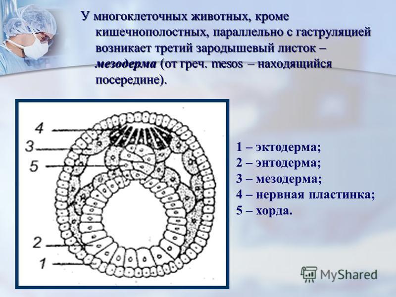 У многоклеточных животных, кроме кишечнополостных, параллельно с гаструляцией возникает третий зародышевый листок – мезодерма (от греч. mesos – находящийся посередине). 1 – эктодерма; 2 – энтодерма; 3 – мезодерма; 4 – нервная пластинка; 5 – хорда.