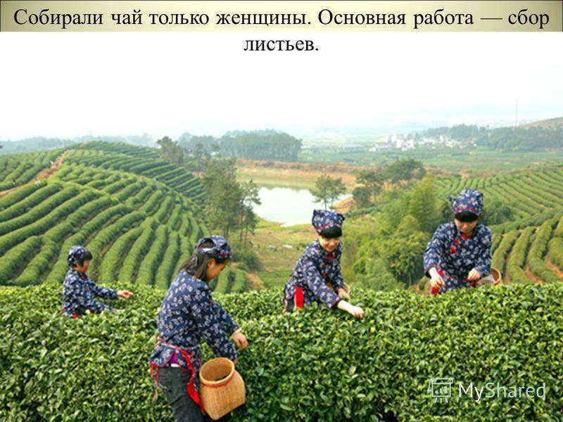 Собирали чай только женщины. Основная работа сбор листьев.