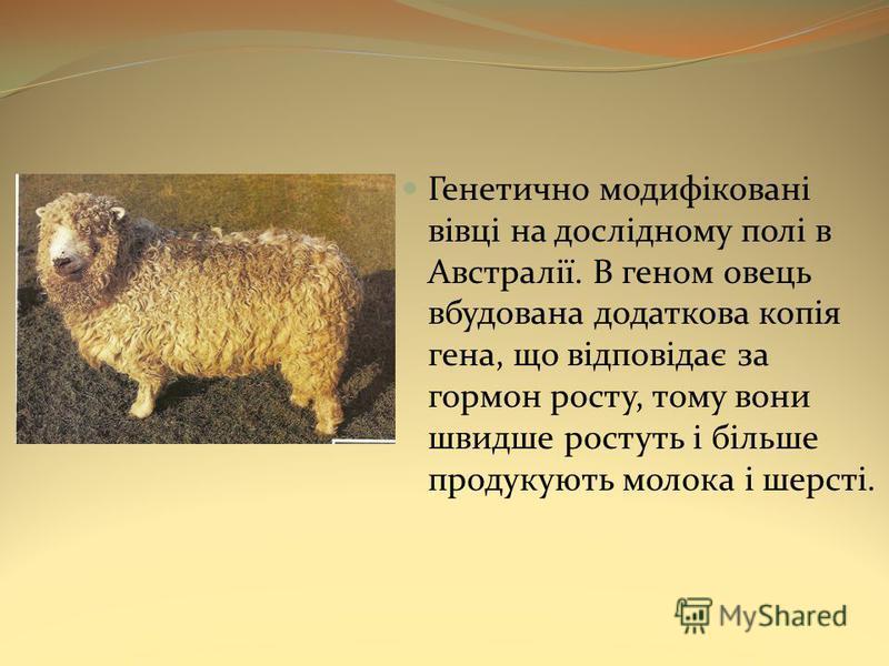 Генетично модифіковані вівці на дослідному полі в Австралії. В геном овець вбудована додаткова копія гена, що відповідає за гормон росту, тому вони швидше ростуть і більше продукують молока і шерсті.