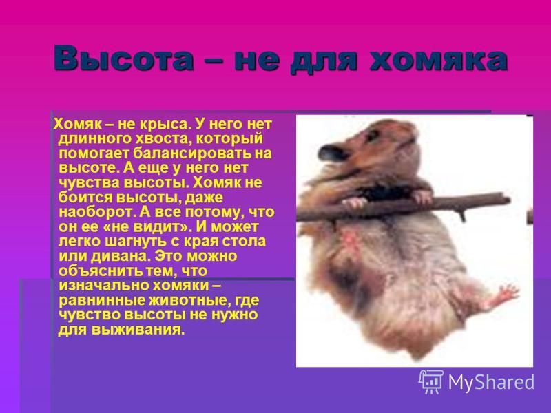 Высота – не для хомяка Хомяк – не крыса. У него нет длинного хвоста, который помогает балансировать на высоте. А еще у него нет чувства высоты. Хомяк не боится высоты, даже наоборот. А все потому, что он ее «не видит». И может легко шагнуть с края ст