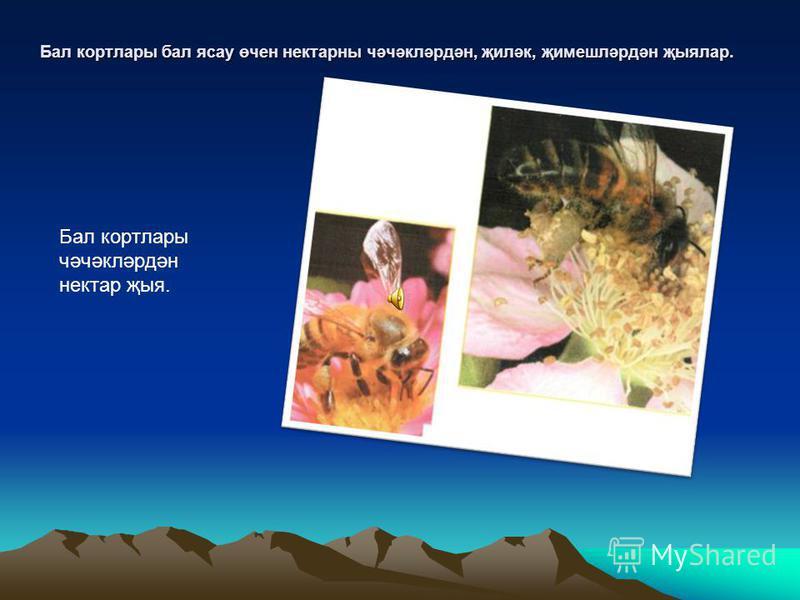 Өстәге рәсемнәрдә личинкалар үсү тәртибендә төшерелгән. Астагы рәсемдә ана корт эшче кортлар уртасында