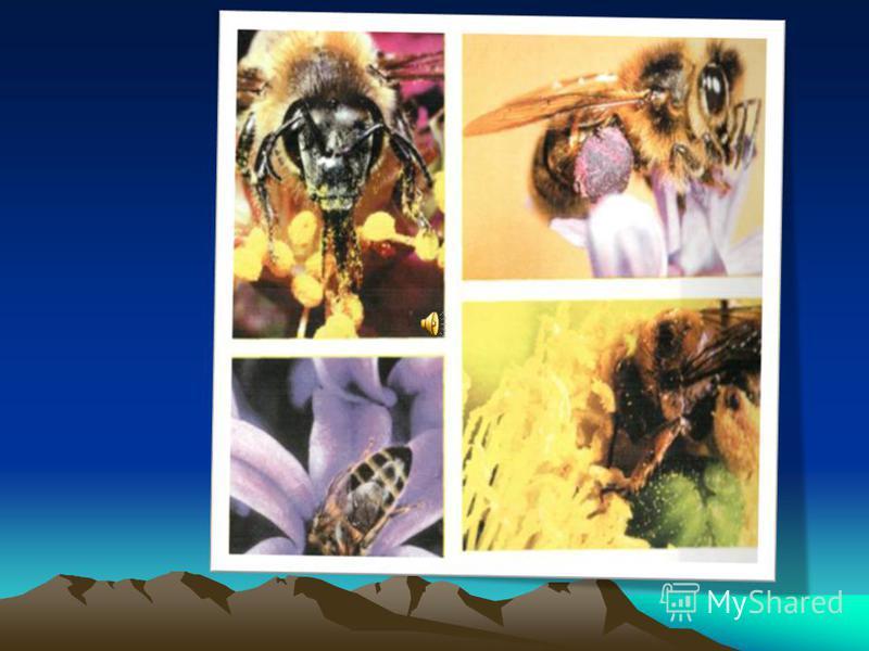 Бал кортлары бал ясау өчен нектарны чәчәкләрдән, җиләк, җимешләрдән җыялар. Бал кортлары чәчәкләрдән нектар җыя.