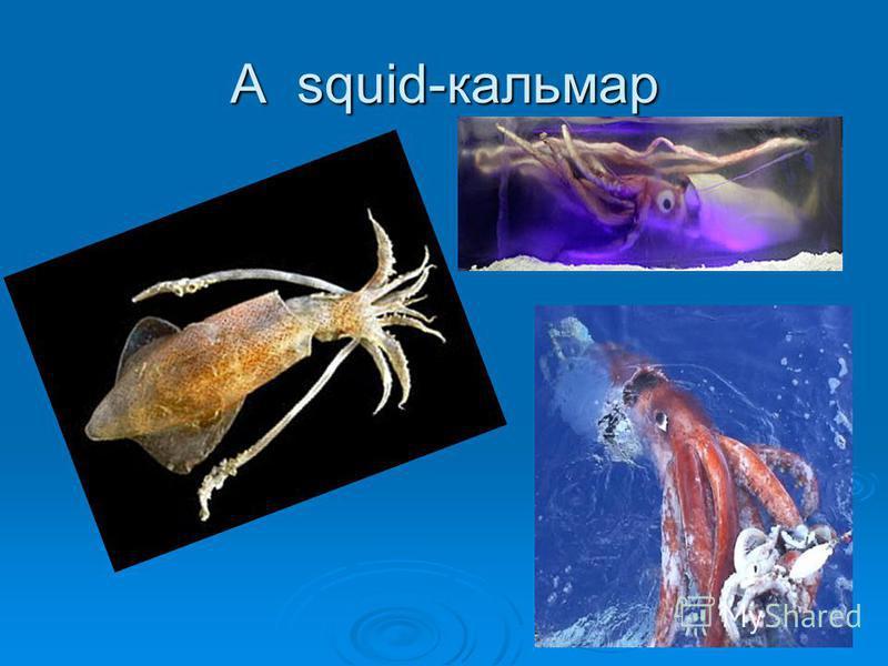 A squid-кальмар