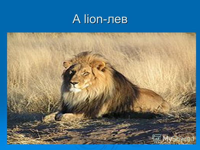 A lion-лев