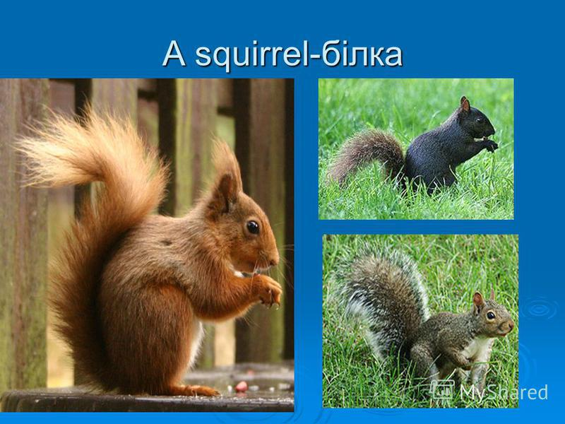 A squirrel-білка