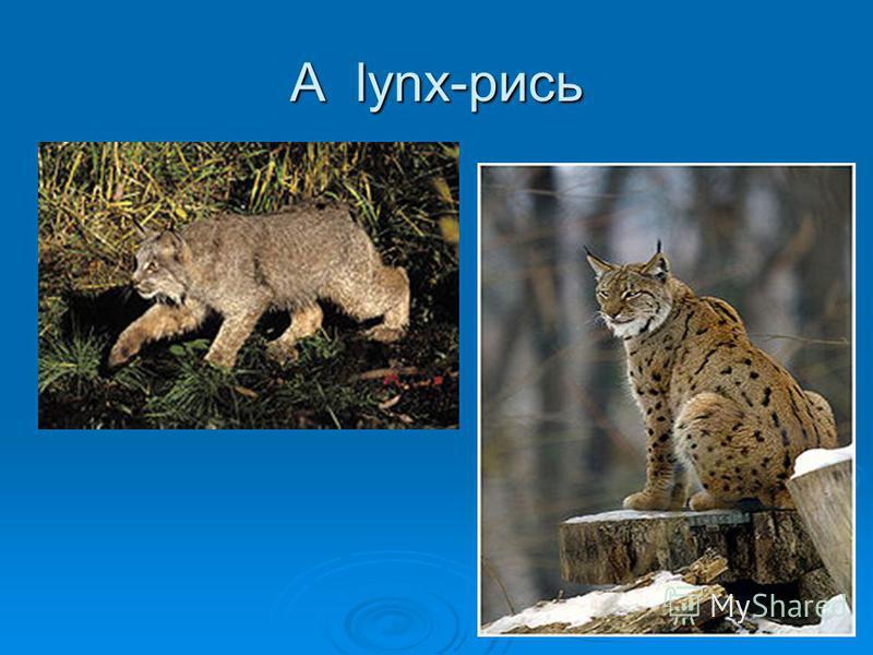 A lynx-рись
