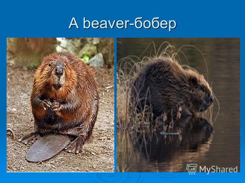 A beaver-бобер