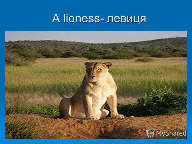 A lioness- левиця A lioness- левиця