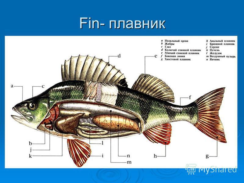 Fin- плавник