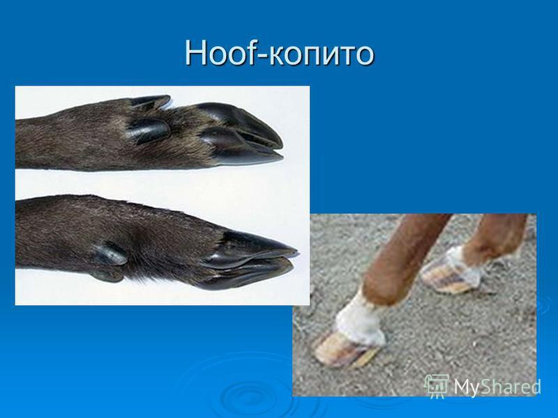 Hoof-копито
