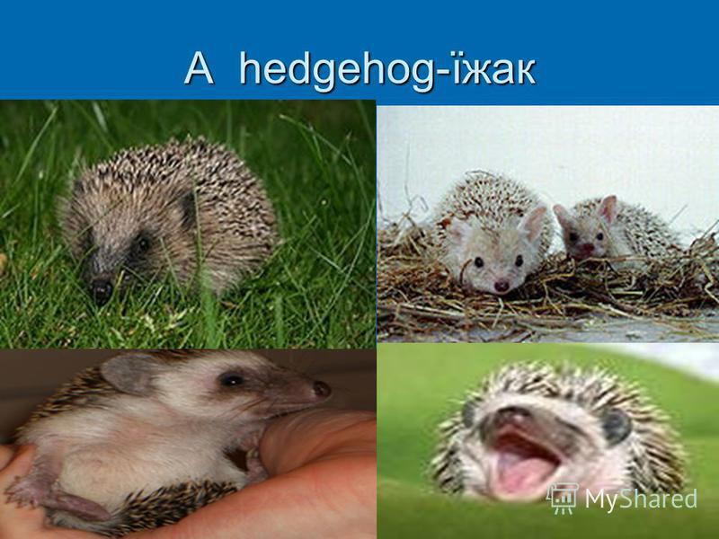 A hedgehog-їжак