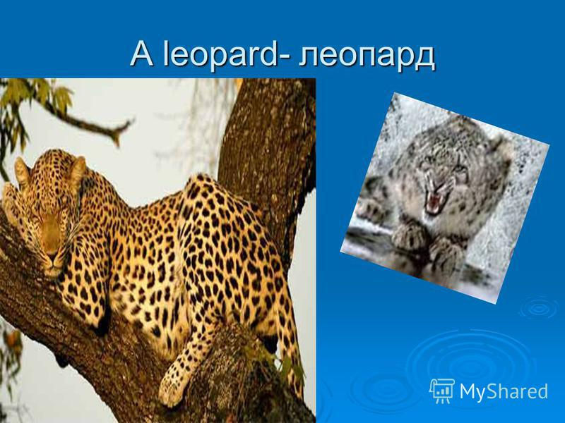 A leopard- леопард