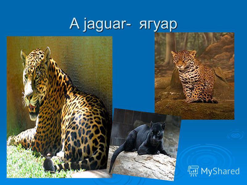A jaguar- ягуар
