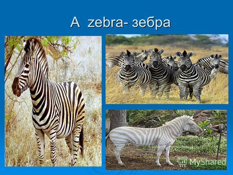 A zebra- зебра A zebra- зебра
