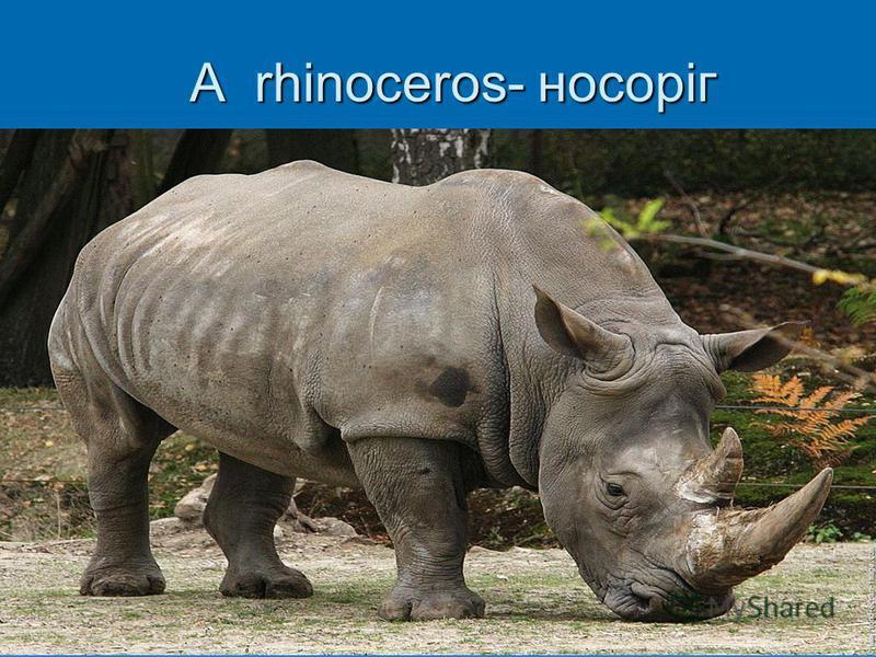 A rhinoceros- носоріг A rhinoceros- носоріг