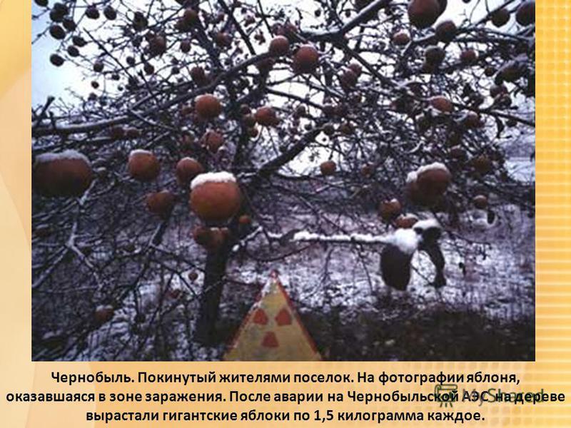 Чернобыль. Покинутый жителями поселок. На фотографии яблоня, оказавшаяся в зоне заражения. После аварии на Чернобыльской АЭС на дереве вырастали гигантские яблоки по 1,5 килограмма каждое.