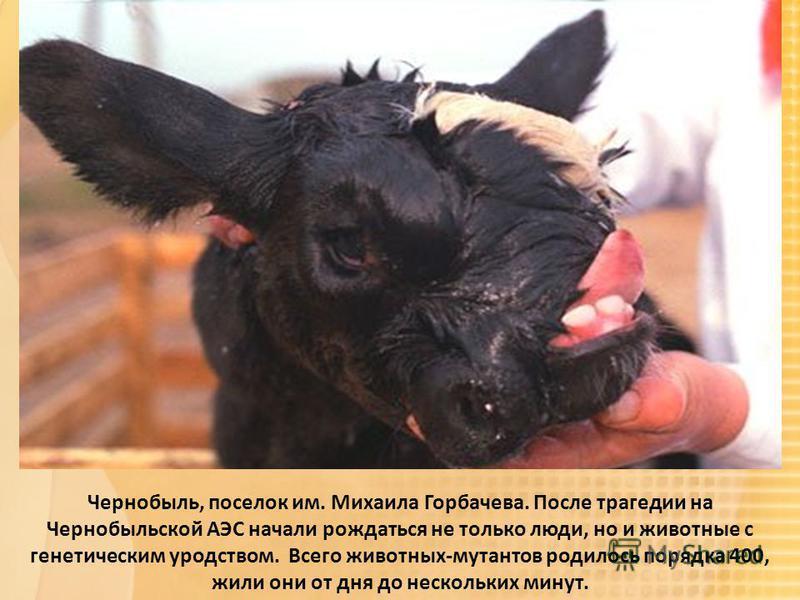 Чернобыль  людей и животных