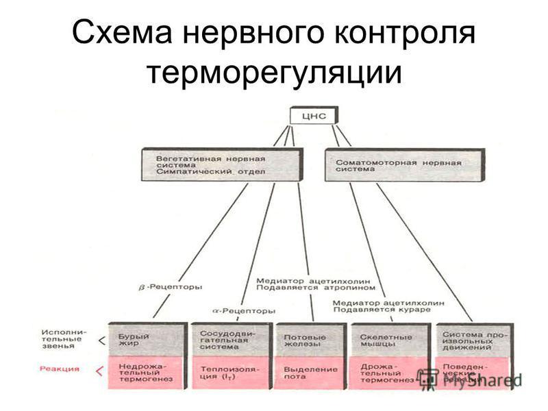 ТЕРМОГЕНЕЗ (ТЕПЛОПРОДУКЦИЯ ) n 1) БАЗИСНЫЙ n 2) РЕГУЛЯТОРНЫЙ: n СОКРАТИТЕЛЬНЫЙ -МЫШЕЧНАЯ ДРОЖЬ -МЫШЕЧНЫЙ ТОНУС -ПРОИЗВОЛЬНЫЕ СОКРАЩЕНИЯ n НЕСОКРАТИТЕЛЬНЫЙ -АКТИВАЦИЯ ОКИСЛЕНИЯ -РАЗОБЩЕНИЕ ОКИСЛЕНИЯ И ФОСОРИЛИРОВАНИЯ ТЕРМОРЕГУЛЯЦИЯ n ТЕПЛООТДАЧА -ВЛАЖ