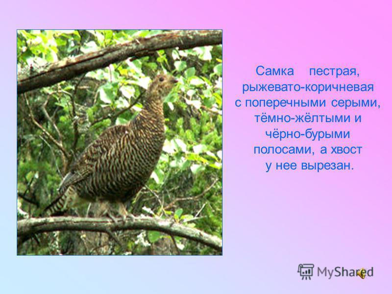 Самка пестрая, рыжевато-коричневая с поперечными серыми, тёмно-жёлтыми и чёрно-бурыми полосами, а хвост у нее вырезан.
