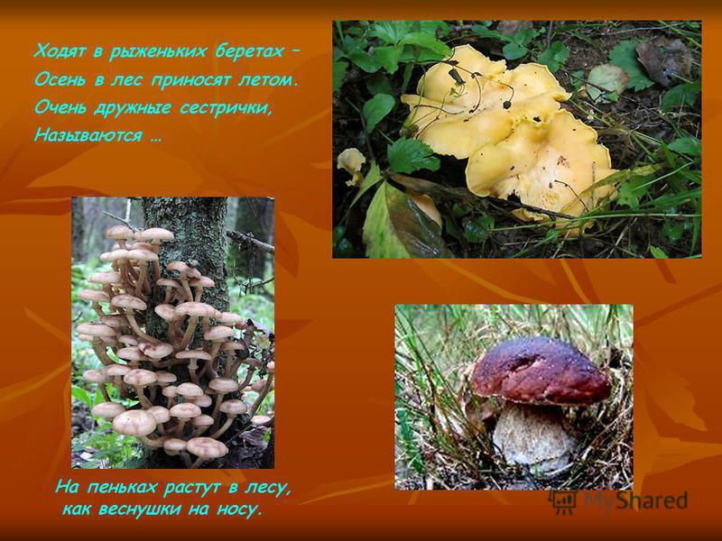 Ходят в рыженьких беретах – Осень в лес приносят летом. Очень дружные сестрички, Называются … На пеньках растут в лесу, как веснушки на носу.