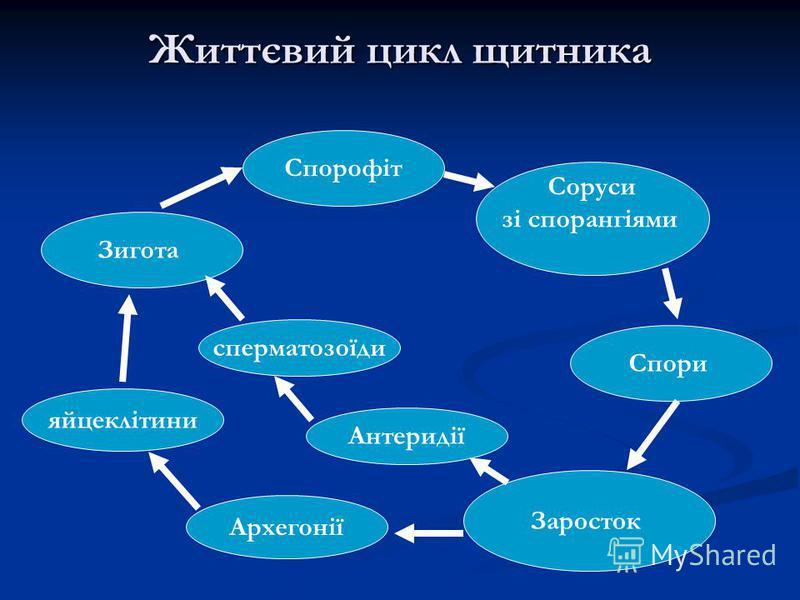 Життєвий цикл щитника Спорофіт Соруси зі спорангіями Спори Заросток Антеридії Зигота Архегонії сперматозоїди яйцеклітини