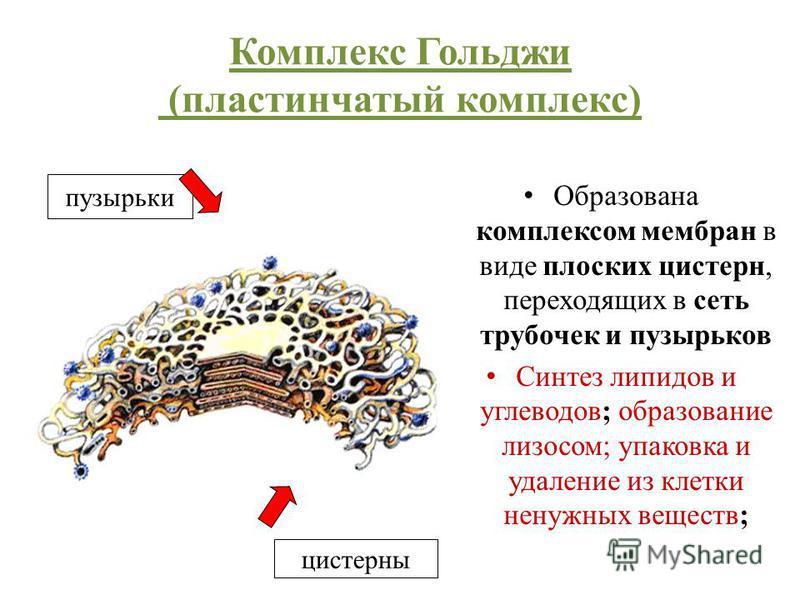 Комплекс Гольджи (пластинчатый комплекс) Образована комплексом мембран в виде плоских цистерн, переходящих в сеть трубочек и пузырьков Синтез липидов и углеводов; образование лизосом; упаковка и удаление из клетки ненужных веществ; пузырьки цистерны
