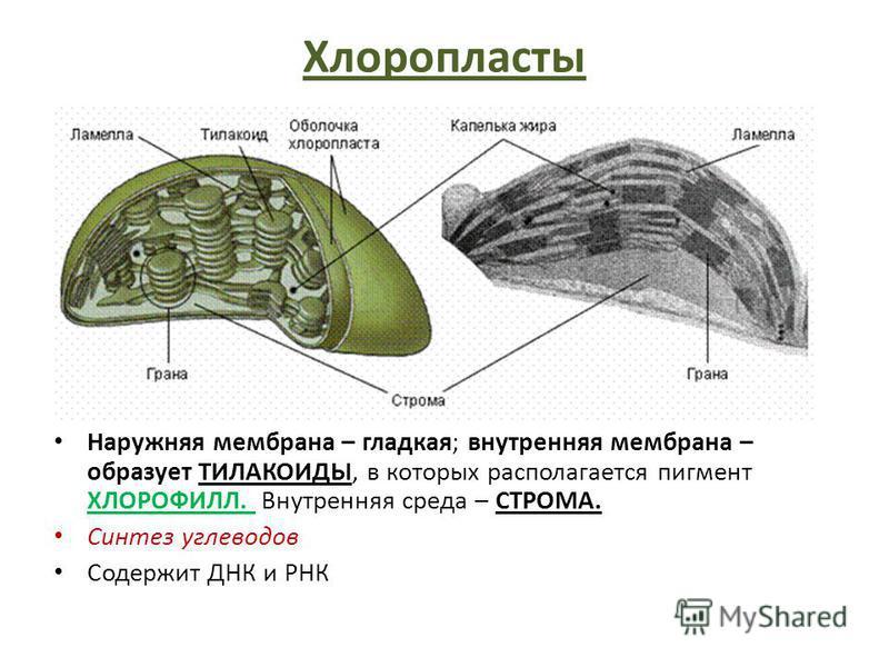 Хлоропласты Наружняя мембрана – гладкая; внутренняя мембрана – образует ТИЛАКОИДЫ, в которых располагается пигмент ХЛОРОФИЛЛ. Внутренняя среда – СТРОМА. Синтез углеводов Содержит ДНК и РНК