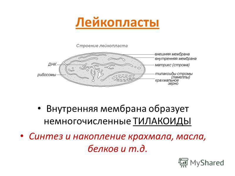 Лейкопласты Внутренняя мембрана образует немногочисленные ТИЛАКОИДЫ Синтез и накопление крахмала, масла, белков и т.д.