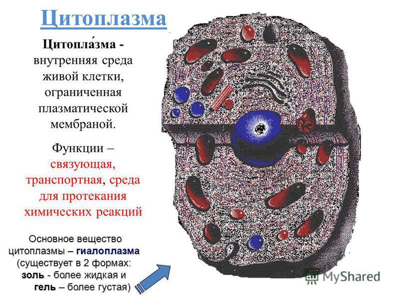 Цитоплазма Цитопла́зма - внутренняя среда живой клетки, ограниченная плазматической мембраной. Функции – связующая, транспортная, среда для протекания химических реакций Основное вещество цитоплазмы – гиалоплазма (существует в 2 формах: золь - более