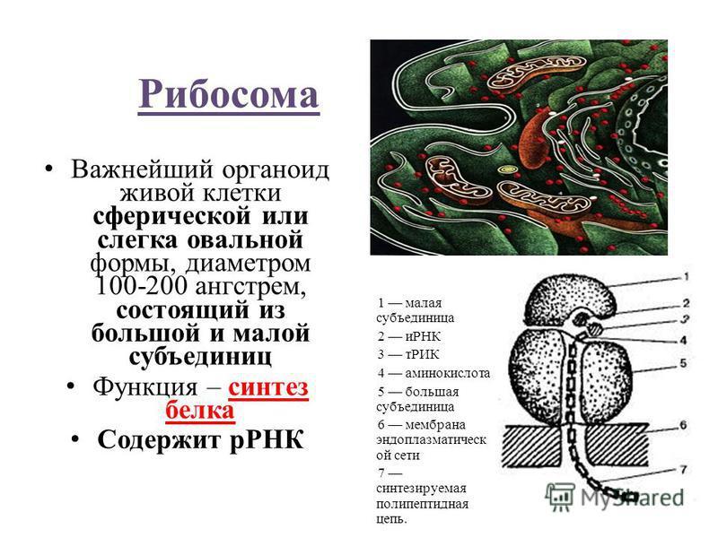 Рибосома Важнейший органоид живой клетки сферической или слегка овальной формы, диаметром 100-200 ангстрем, состоящий из большой и малой субъединиц Функция – синтез белка Содержит рРНК 1 малая субъединица 2 иРНК 3 тРИК 4 аминокислота 5 большая субъед