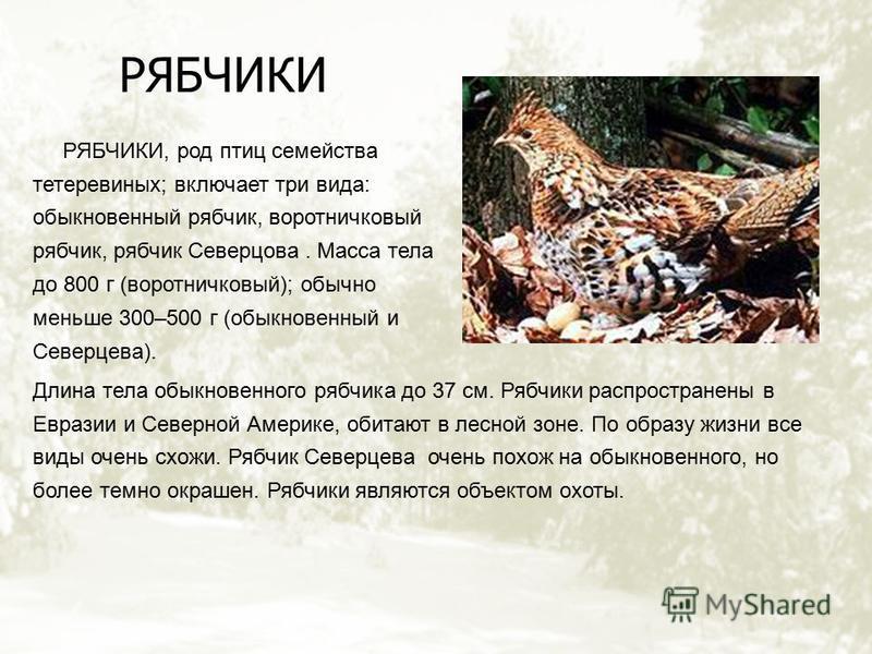 РЯБЧИКИ РЯБЧИКИ, род птиц семейства тетеревиных; включает три вида: обыкновенный рябчик, воротничковый рябчик, рябчик Северцова. Масса тела до 800 г (воротничковый); обычно меньше 300–500 г (обыкновенный и Северцева). Длина тела обыкновенного рябчика