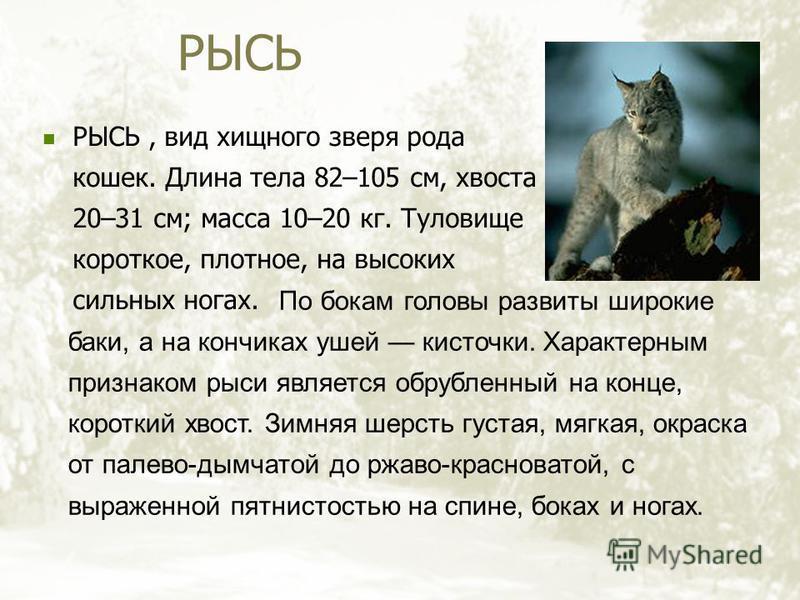 РЫСЬ РЫСЬ, вид хищного зверя рода кошек. Длина тела 82–105 см, хвоста 20–31 см; масса 10–20 кг. Туловище короткое, плотное, на высоких сильных ногах. По бокам головы развиты широкие баки, а на кончиках ушей кисточки. Характерным признаком рыси являет