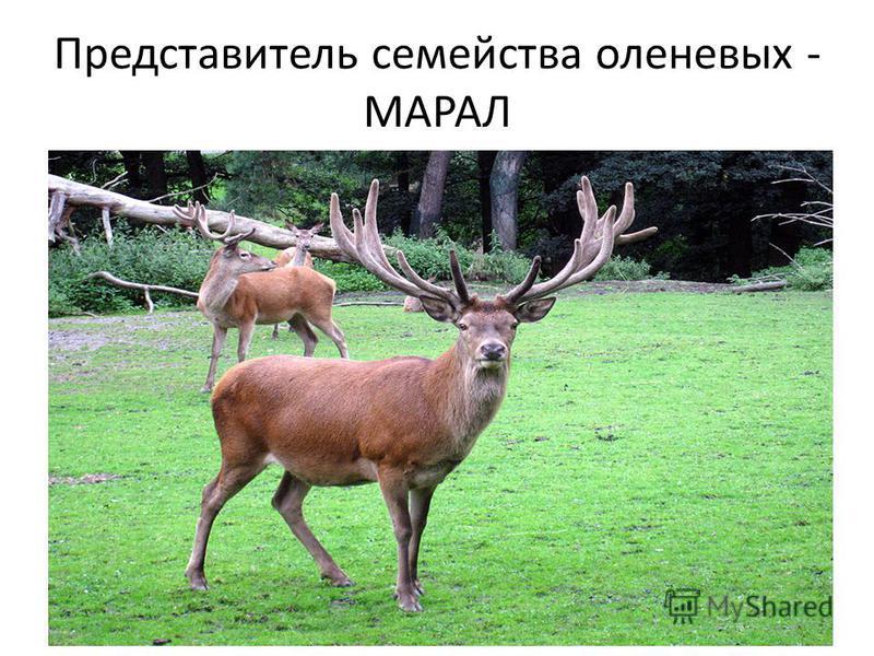 Представитель семейства оленевых - МАРАЛ