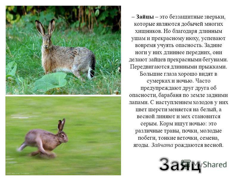 – Зайцы – это беззащитные зверьки, которые являются добычей многих хищников. Но благодаря длинным ушам и прекрасному нюху, успевают вовремя учуять опасность. Задние ноги у них длиннее передних, они делают зайцев прекрасными бегунами. Передвигаются дл