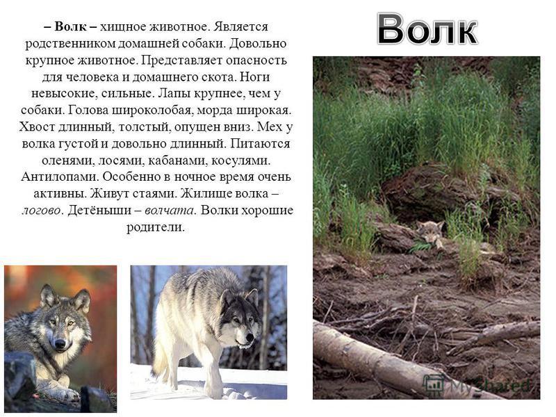 – Волк – хищное животное. Является родственником домашней собаки. Довольно крупное животное. Представляет опасность для человека и домашнего скота. Ноги невысокие, сильные. Лапы крупнее, чем у собаки. Голова широколобая, морда широкая. Хвост длинный,