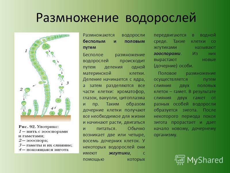 Размножение водорослей Размножаются водоросли бесполым и половым путем Бесполое размножение водорослей происходит путем деления одной материнской клетки. Деление начинается с ядра, а затем разделяются все части клетки: хроматофор, глазок, вакуоли, ци