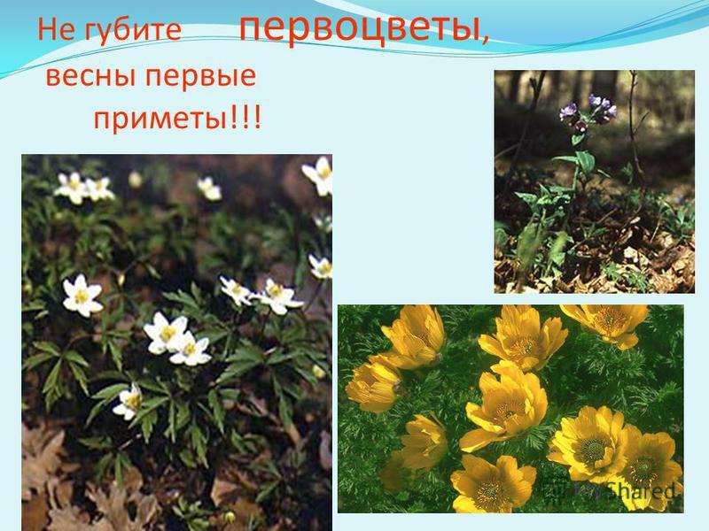 Не губите первоцветы, весны первые приметы!!!