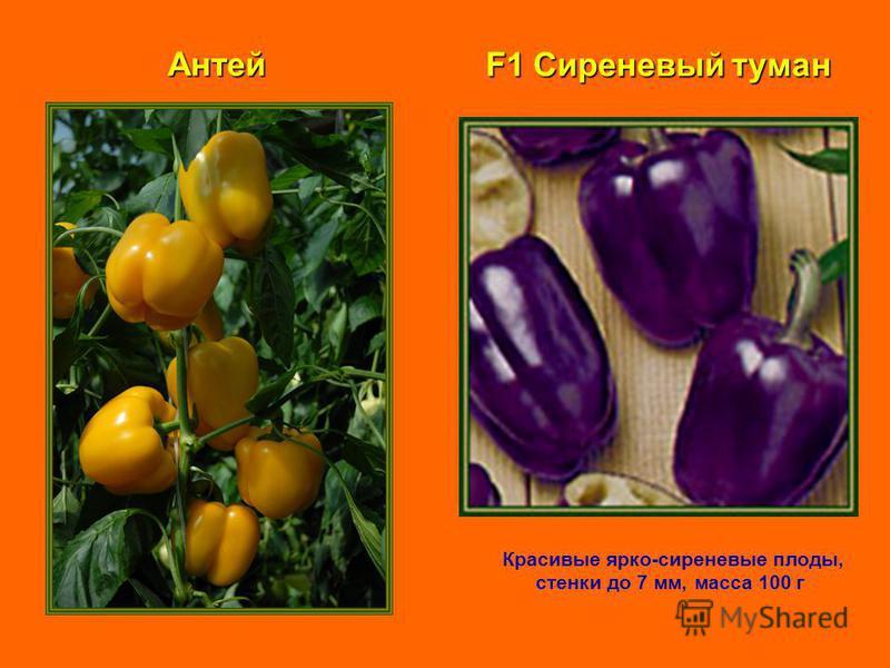 F1 Сиреневый туман Красивые ярко-сиреневые плоды, стенки до 7 мм, масса 100 г Антей