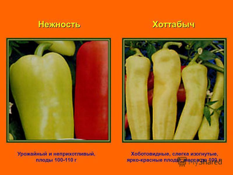 Нежность Урожайный и неприхотливый, плоды 100-110 г Хоттабыч Хоботовидные, слегка изогнутые, ярко-красные плоды, масса до 100 г