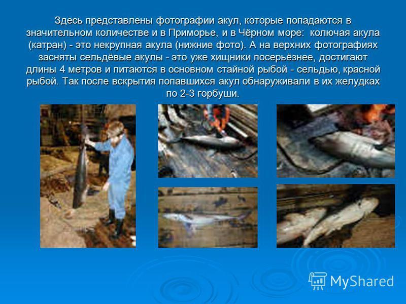 Здесь представлены фотографии акул, которые попадаются в значительном количестве и в Приморье, и в Чёрном море: колючая акула (катран) - это некрупная акула (нижние фото). А на верхних фотографиях засняты сельдёвые акулы - это уже хищники посерьёзнее